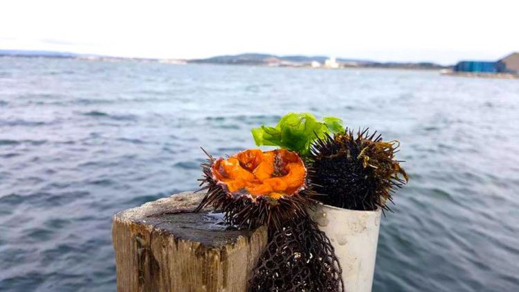 A sea urchin opened with orange flesh on a wooden pole by a lagoon