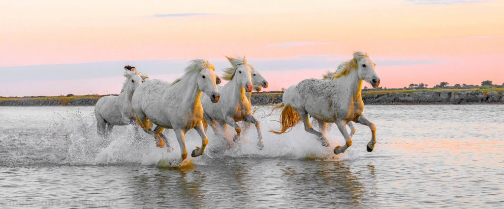 Camargue white horses galloping in shallow water at sunset